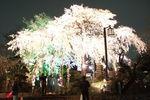 桜が電飾風に写ってしまいました