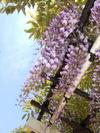 青空に藤の花 FinePix F10 1/350sec F4 8mm ISO80 フラッシュ有