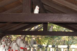 招き猫は高いところが好き