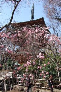枝垂れ桜と三重塔