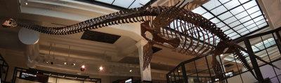 国立科学博物館のフタバスズキリュウ骨格 リンク先は1200x358