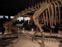 ニジェールサウルス骨格