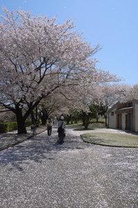所沢航空発祥記念館 桜吹雪 GR DIGITAL F4.5 1/870sec ISO64 -0.3EV